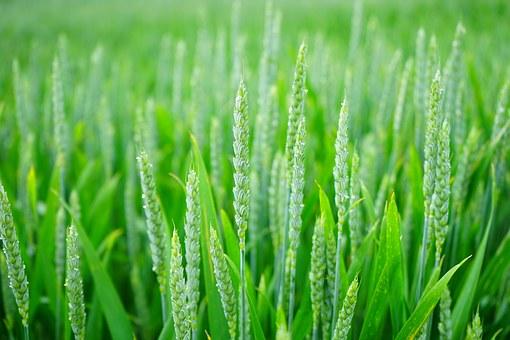 Autorizados organismos modificados genéticamente